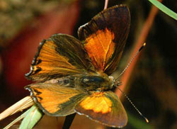 eltham-copper-butterfly